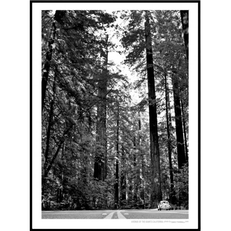 Ave Of The Giants Poster
