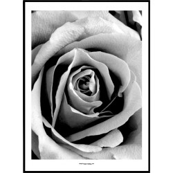 Grey Rose Poster