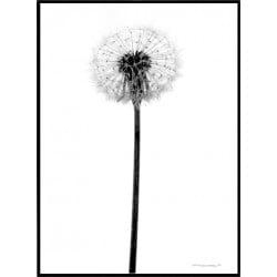 Grey Dandelion