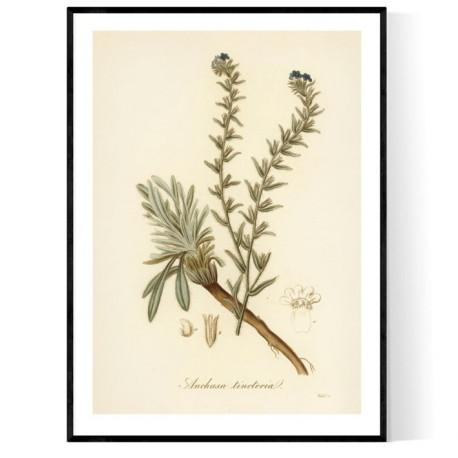 Anchusa Tinctoria Poster
