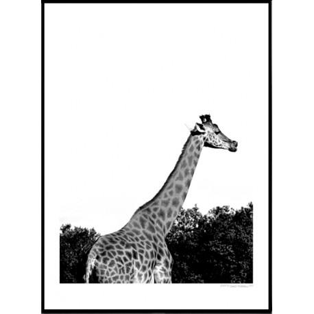 Long Giraffe Poster